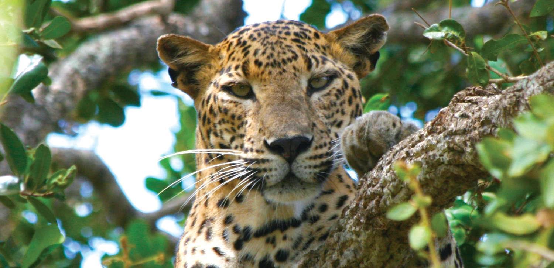 Sri Lanka is home to the elusive Leopard.