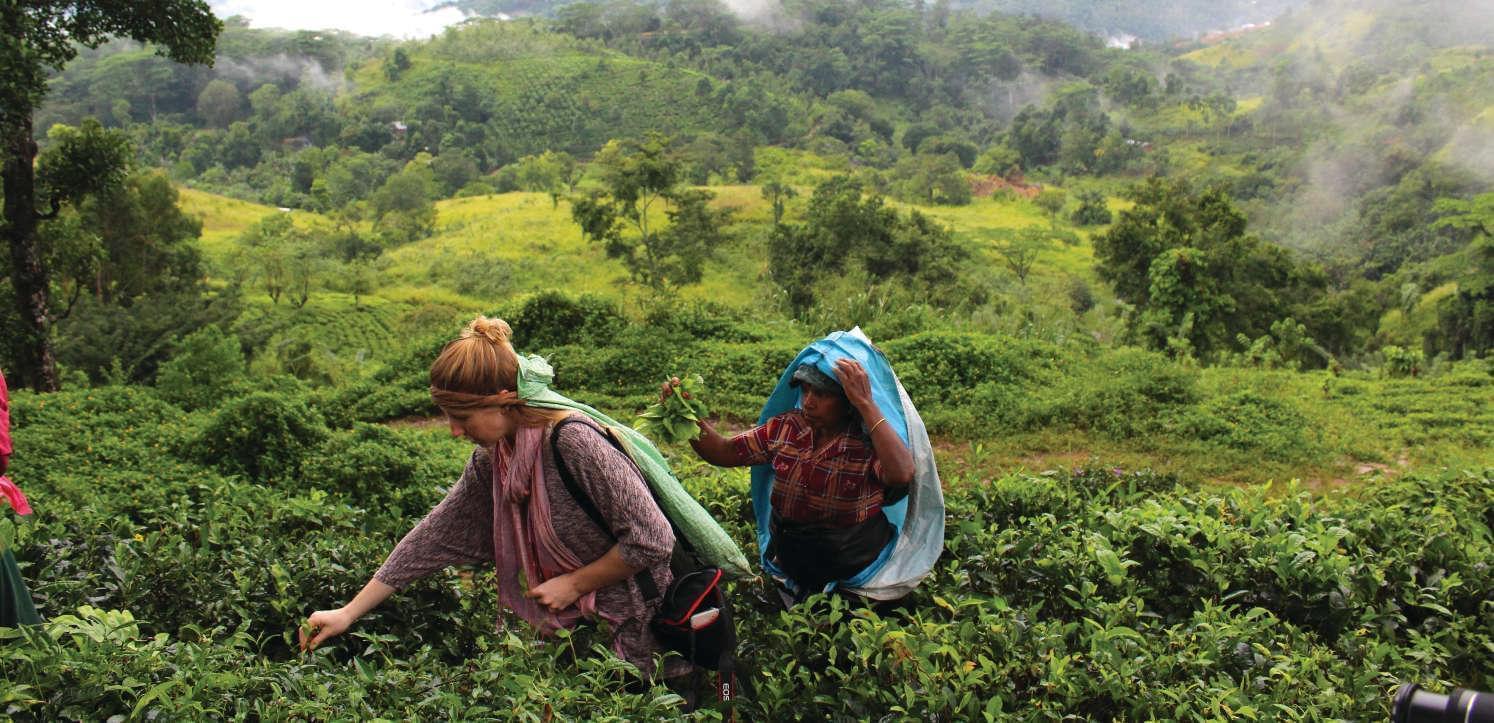 Tea-picking at Ashburnham Estate Sri Lanka