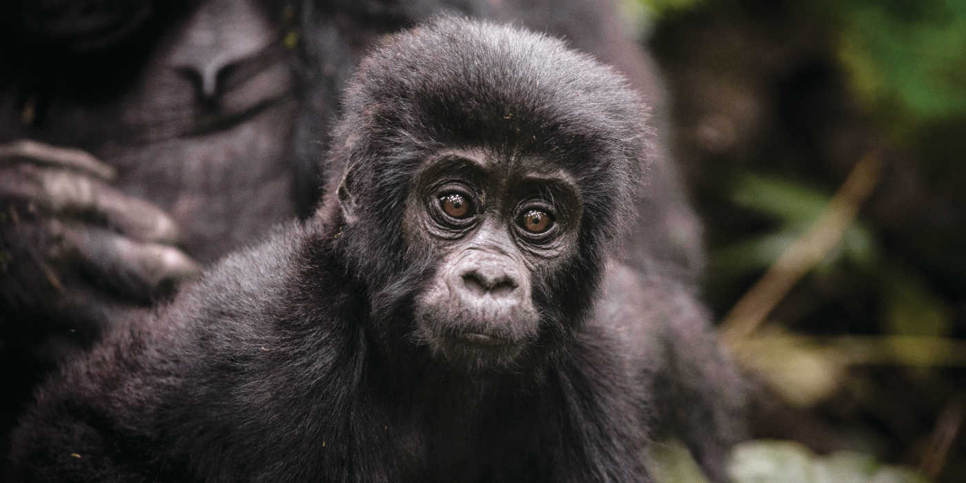 Uganda, Sanctuary Gorilla Forest Camp with abercrombie and kent luxpeditions
