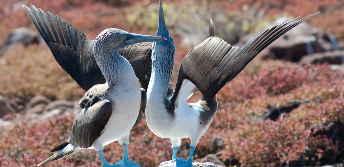 blue footed boobies at the galapagos
