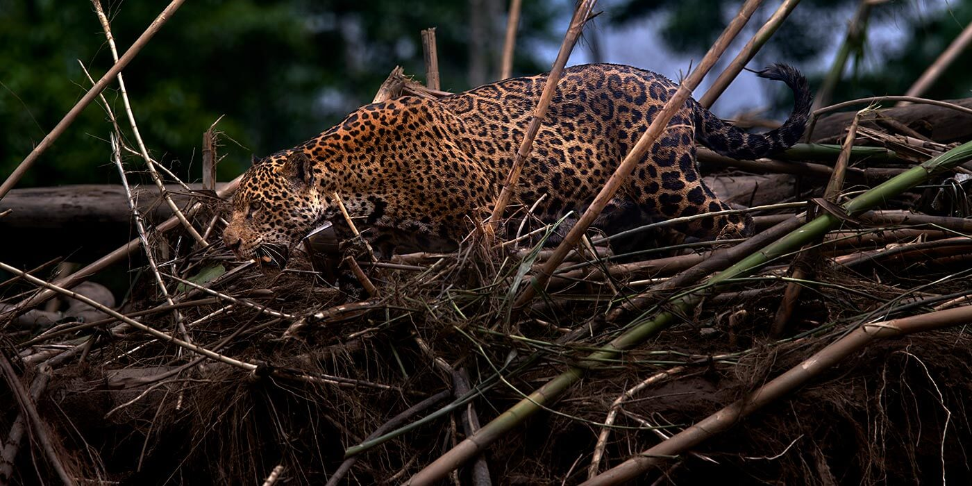 Leopard in the Amazon
