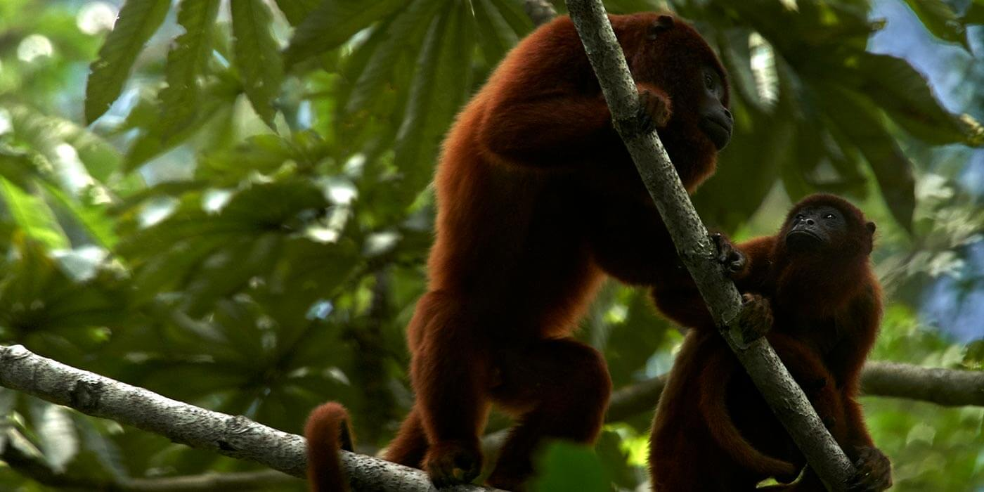 Red howler Monkeys in the Amazon