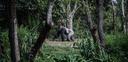 Gorilla in the wild