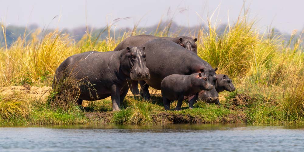 Hippos are a common sight throughout Zambia
