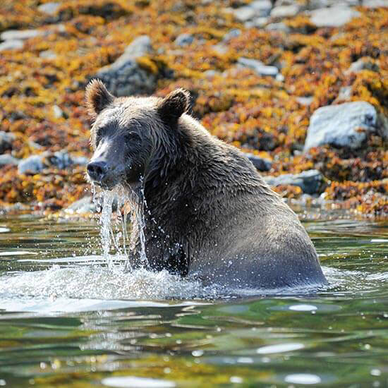 Bear watching in Alaska with PONANT