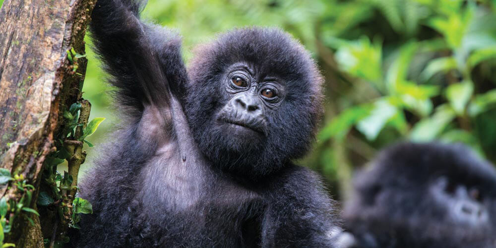 Rwanda is one of two countries in the world to have mountain gorillas