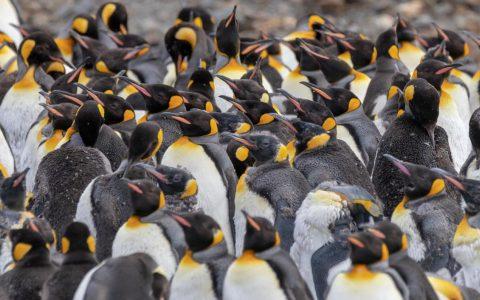 Penguins Fortuna Bay South Georgia