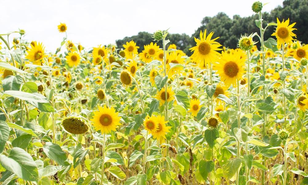 Sunflowers growing at Farm&Co.