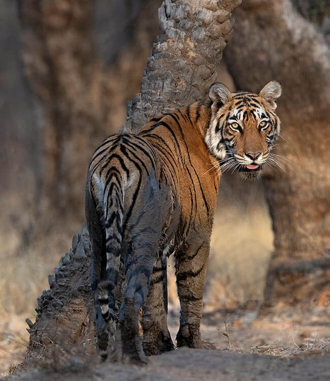 On the tiger trail