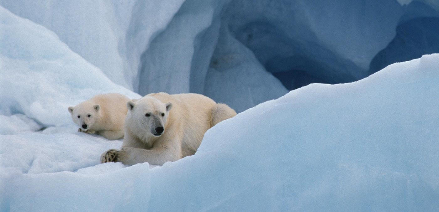 Polar bears in Spitsbergen