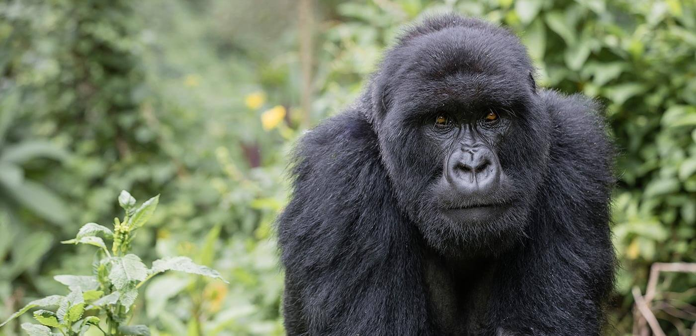 Rwanda's mighty mountain gorillas
