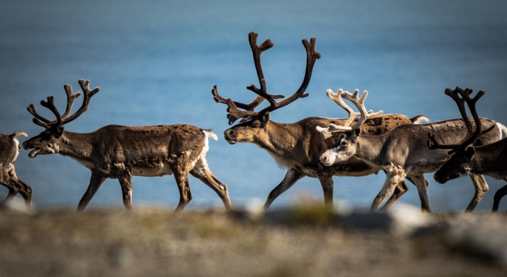 Reindeer are a common sight in Norway