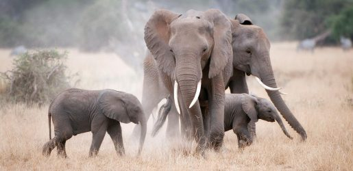 Kenyan elephants