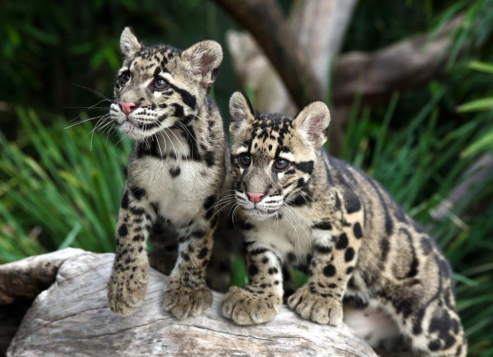 Clouded leopards at WCCC