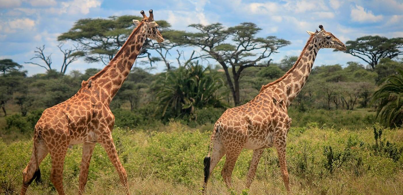 Giraffes tearing leaves of trees