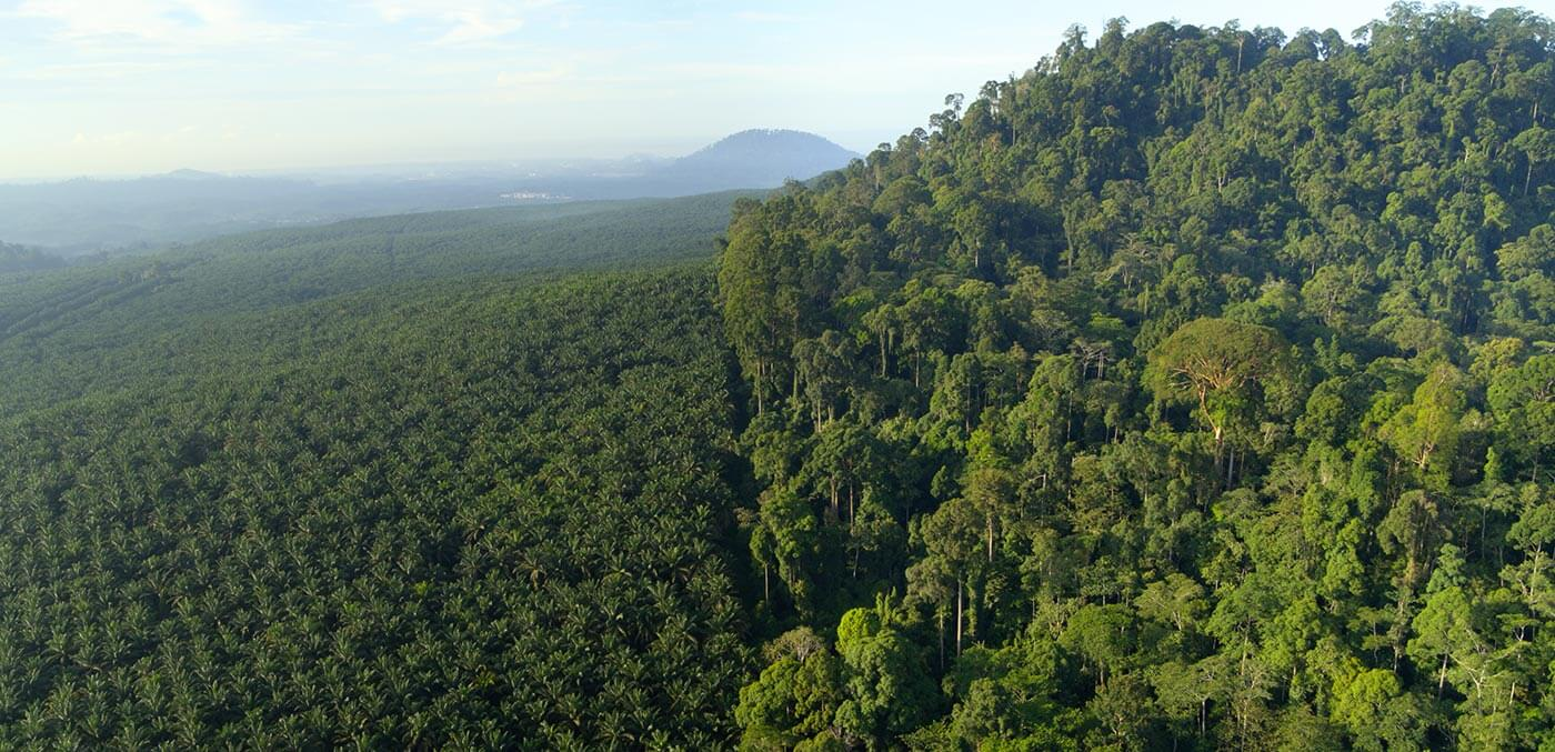 Palm oil plantation next to forested region in Borneo