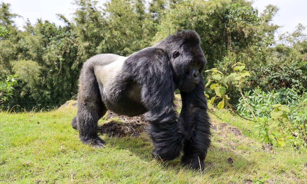 Rwanda Tourism Boards have focused on the protection of gorillas