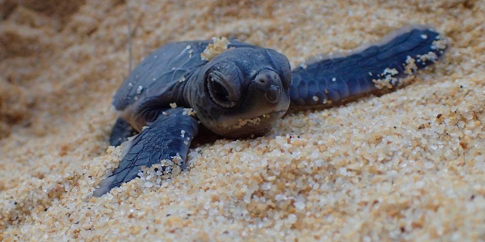Tanjong Jara Turtle - Baby Hatchling