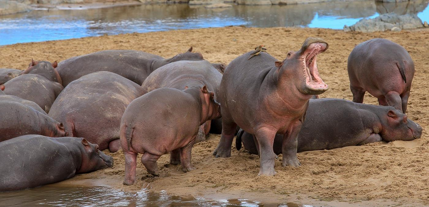 The hippos before they were taken by lions