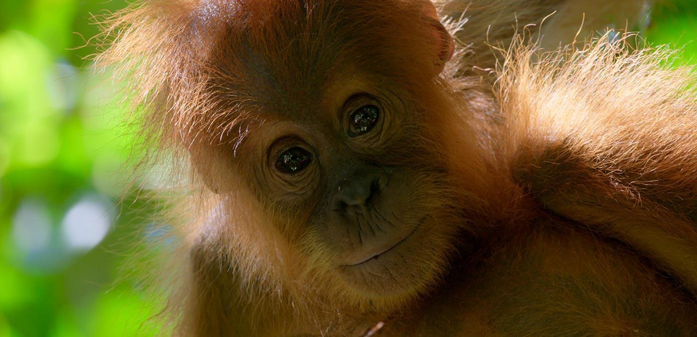 Young orangutan in Borneo