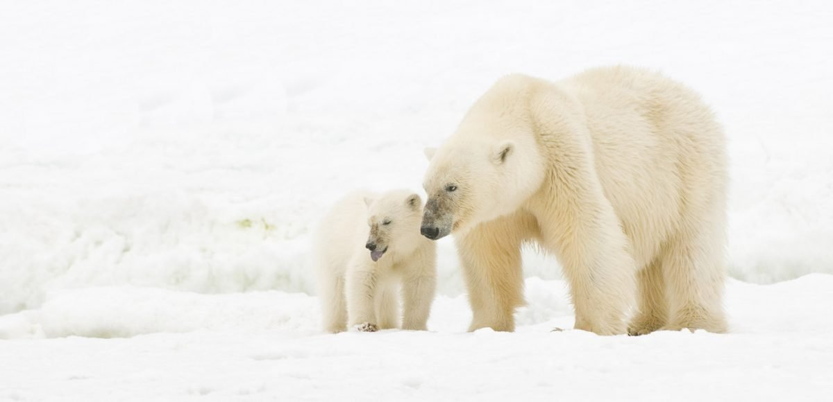 A mother polar bear and her cub traversing the ice
